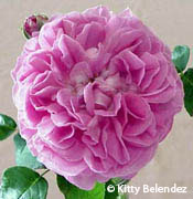 rose yolande d aragon