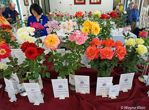 Rose Shows and Exhibiting Roses