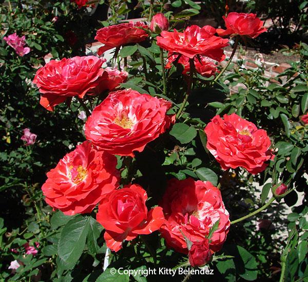 2012 Rose Blog Of Kitty Amp Bob Belendez