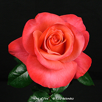 Red Intuition Hybrid Tea Rose