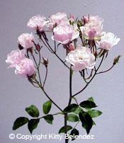 Favorite Polyanthas Roses